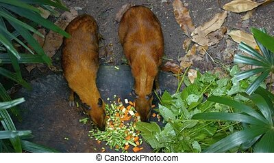 Pair of Chevrotains in a Popular Zoo - Pair of mature, but...