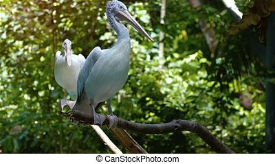 Pair of Pelicans Perched on a Branches - Pair of pelicans,...