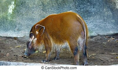 """Red River Hog, Standing in his Habi - """"Red river hog,..."""