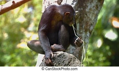 Mature Chimpanzee Using Grass to Collect Water at the Zoo....