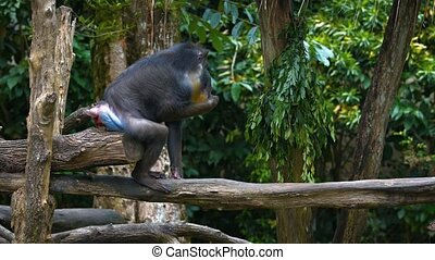 Male Mandrill Sits, Munching Leaves - Male mandrill sits on...