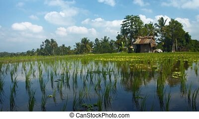 "Balinese Rice Paddy near Ubud - ""Panning Shot of a Rice..."