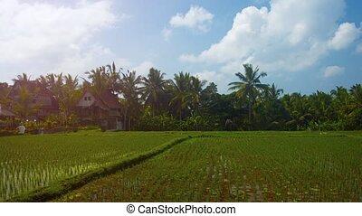 Traditional Balinese Rice Plantation near Ubud - Clustered...