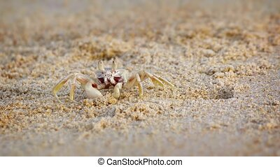 Tiny Crab Sifting through Sand for His Dinner. Video -...