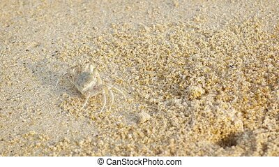 Tiny Crab Scuttles across the Beach Sand - Tiny crab with...