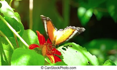 Solitary Specimen of Leopard Lacewing Butterfly - Solitary...
