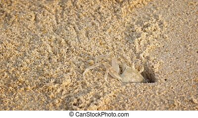 Tiny Crab Sneaks out of His Burrow in the Sand - Very small...