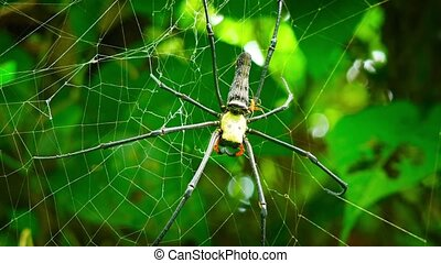 Couple of Nephila spiders in the web. Sexual dimorphism....