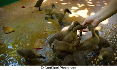 Man feeding and petting a group of baby ducks - Video 1080p...
