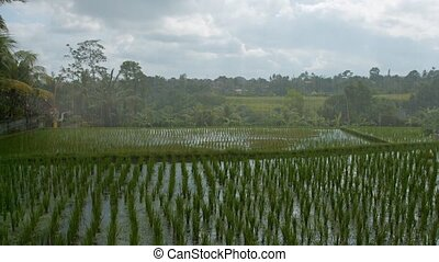 Rain over the rice fields - Rain over the rice fields Bali,...