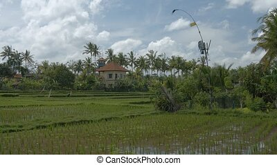 """Rice stalks in shallow water of lowland paddies on farm in..."