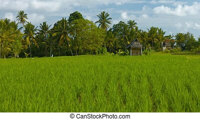 quot;Rice field on the edge of the settlement Indonesia,...