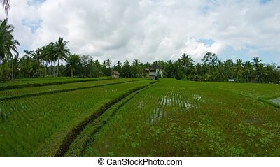 Rice fields and the homes of local residents. Indonesia,...