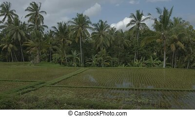 """coconut pams over a lowland rice paddy on a farm in Bali,..."
