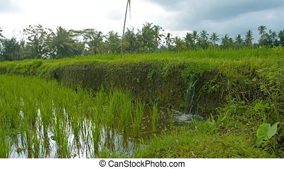 Irrigation of paddy fields. Video with sound