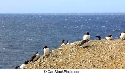 Thick-billed murres are hiding from the strong winds on the...