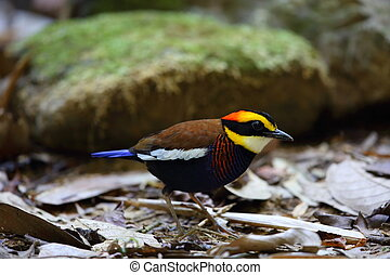 Malayan banded pitta Hydrornis irena in south Thailand