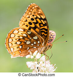 Aphrodite Fritillary Perched on a White Flower