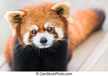 Red Panda - A frontal portrait of a Red Panda
