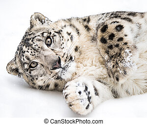 Playful Snow Leopard III - Playful Snow Leopard Rolling in...