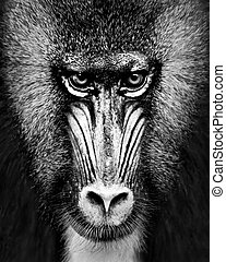 Mandrill XII - A Black and White Frontal Portrait of a Male...
