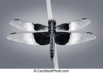 Widow Skimmer - An Overhead Portrait of a Widow Skimmer...