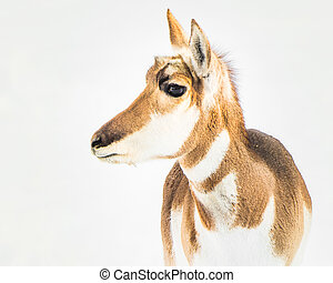 Pronghorn in Snow V - Profile Portrait of a Pronghorn in...