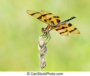 Calico Pennant VII - A Profile Portrait of a Perching Calico...