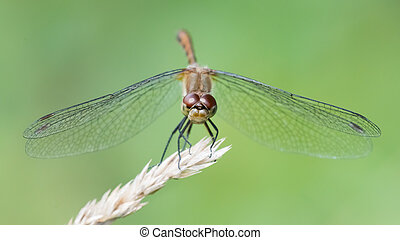 White-Faced Meadowhawk V - Frontal Portrait of a White-Faced...