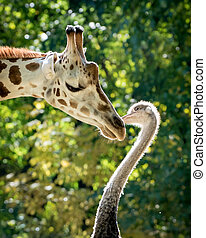 Curious Encounter - A Sweet Giraffe and Ostrich Encounter