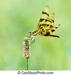 Halloween Pennant II - A Profile Portrait of a Perching...
