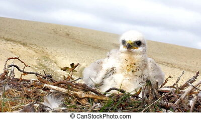 white fluffy nestling birds of prey - rough-legged Buzzard...