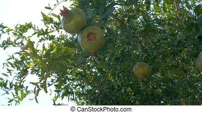 Hand Touching Green Pomegranates on the Tree