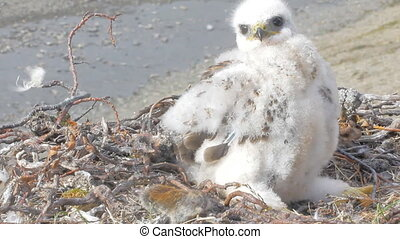 Rough-legged Buzzard chick in nest and the Collared Lemming as food