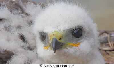 Rough-legged Buzzard chick. Novaya Zemlya Archipelago. Arctic