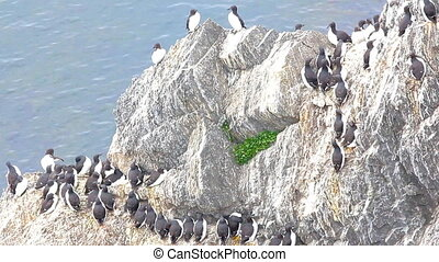 Impressive birdy spots on the rocks of the Barents sea -...