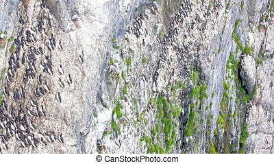 Tall rock wall and colonies of sea birds in eaves Arctic -...