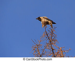 crow croaking on top of tree - hooded crow croaking on top...