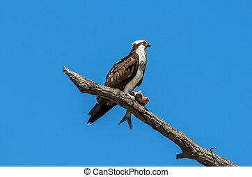 Osprey in a tree with a Rockfish over the Chesapeake Bay -...