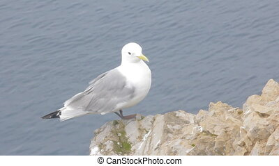 White Seagull flies into sea Kittiwake on Barents sea Arctic...
