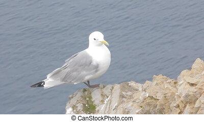 White Seagull flies into sea. Kittiwake on Barents sea. Arctic