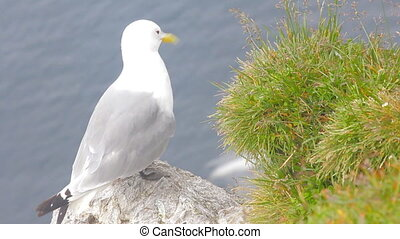 Kittiwake (Rissa tridactyla) sitting on ledge of cliff over...