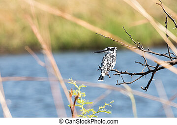 Ped Kingfisher against water - Pied Kingfisher Ceryle rudis...