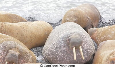Huge Atlantic walruses out from Barents sea and roaring...