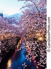 flor, Cereza,  sakura,  meguro,  canal