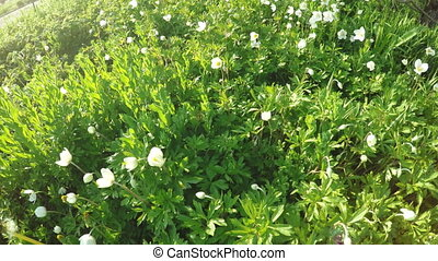 Flowering Anemone on nature - In spring garden blooming...