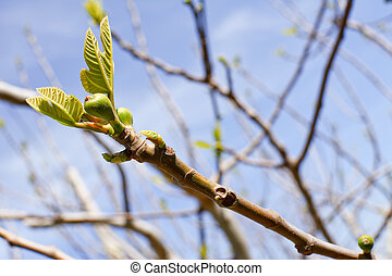 branch of fig tree with bud