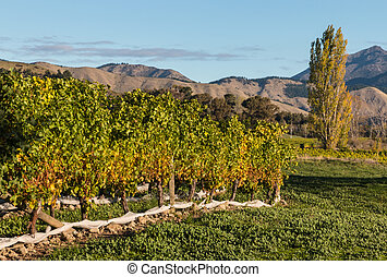 vineyard with poplar tree in background