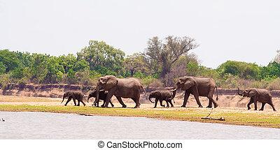 Herd of elephants - Herd of wild African elephants walking...