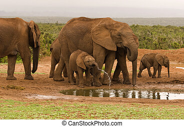 Elephants gathering at a water hole in Addo Elephant...